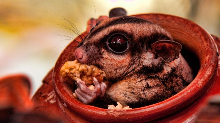 What Foods Do Sugar Gliders Eat?
