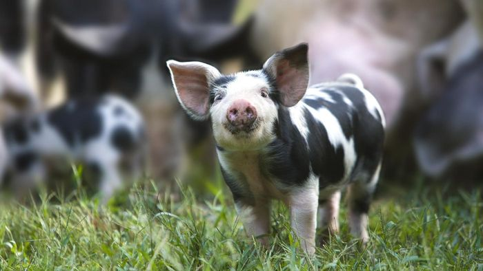 What Should You Know Before You Purchase Cheap Piglets?