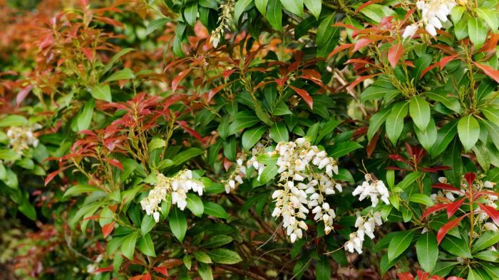 What Is Red Tip Photinia?