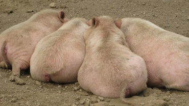 What Are the Characteristics of Pigs?