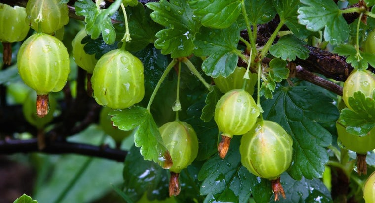 What Is a Gooseberry?