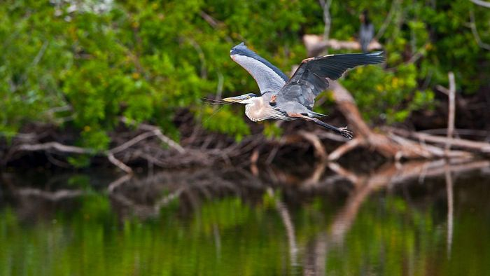 Can You Own a Blue Heron As a Pet?