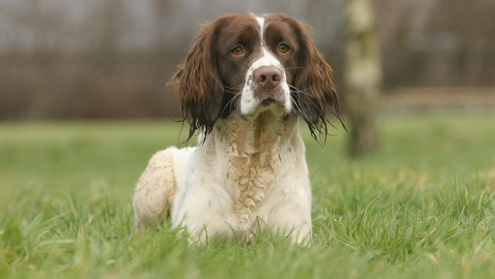 How Do You Find a Rescue Association for Springer Spaniels?