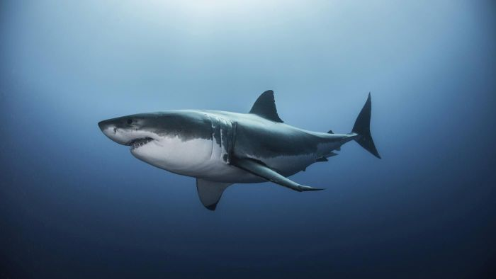 What Is the Habitat of a Great White Shark?