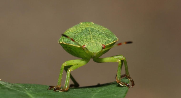 What Are Stink Bugs Attracted To?