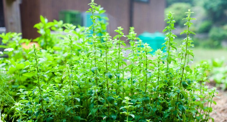 What Is Oil of Oregano?