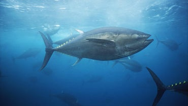 When Is Bluefin Tuna Season?