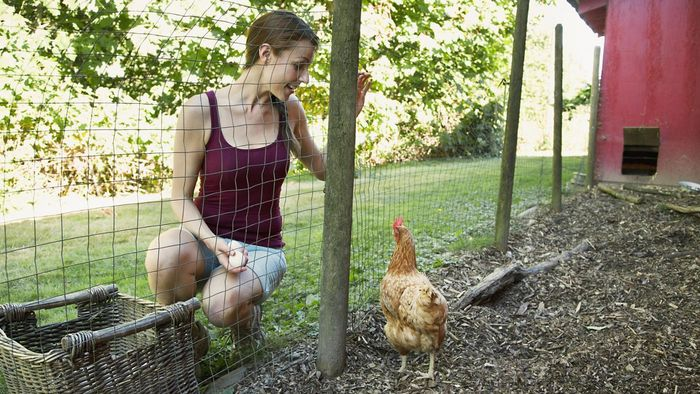 How Do You Raise Hens for Laying Eggs?