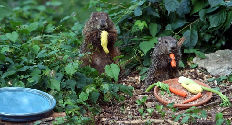 Where Do Groundhogs Live?