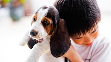 Where Can You Find Basset Hound Puppies for Sale?