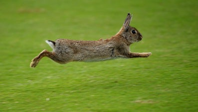 When Was Napoleon Attacked by a Horde of Rabbits?