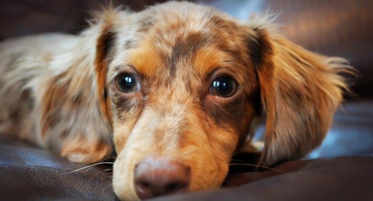 What Are Chiweenie Puppies?