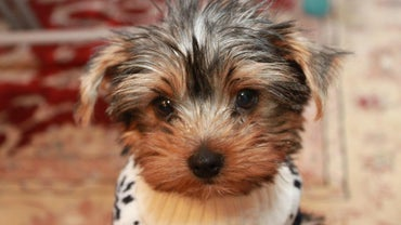 What Is the Typical Cost of a Yorkie Puppy?