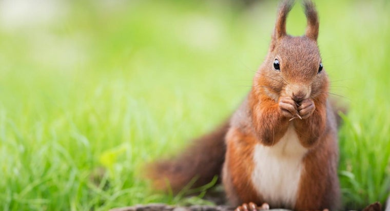What Are Some Red Squirrel Facts?