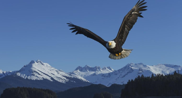 What Are Some Good Facts About the American Bald Eagle?