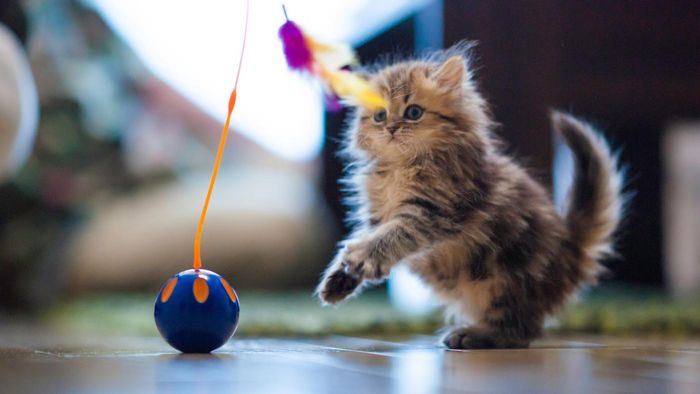 What is a Persian kitten?