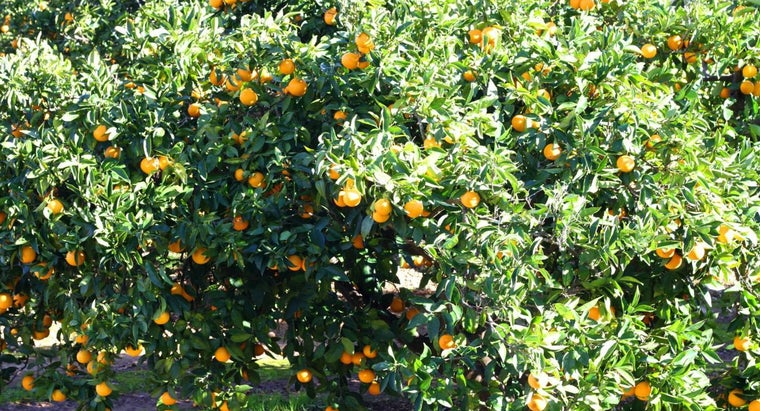 How Often Should You Trim an Orange Tree?