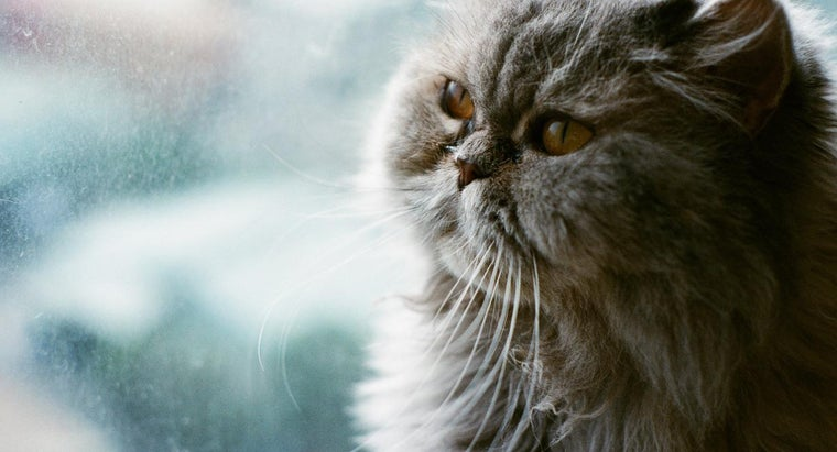 Where Can You Adopt a Persian Cat or Kitten?