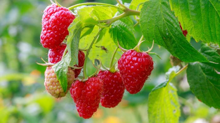 How Do You Plant Raspberries?
