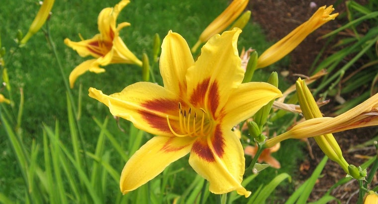 How Do You Care for Lilies?