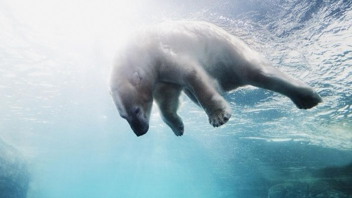 Why Are Polar Bears Considered Endangered?