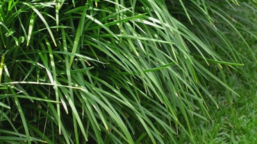 How Do You Kill Weeds in Monkey Grass?