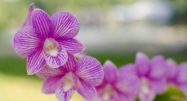 What Are Some Care Tips for Growing Phalaenopsis Orchids?