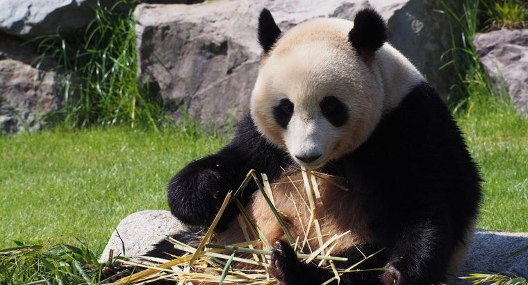 How Have Giant Pandas Adapted to Their Environment?