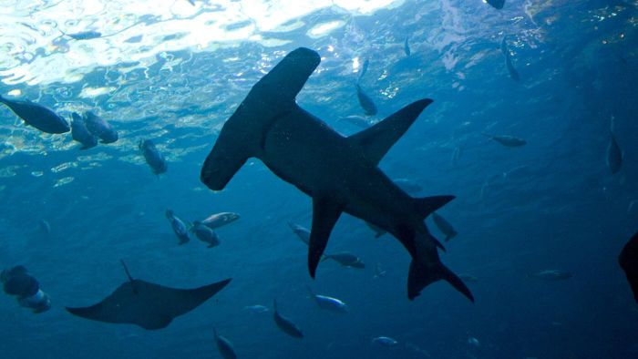 What Are Some Facts About Hammerhead Sharks?
