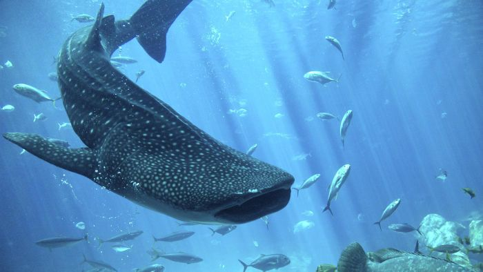 What Are Some Facts About Whale Sharks?