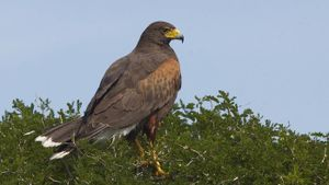 How Many Different Kinds of Hawks Live in the United States?