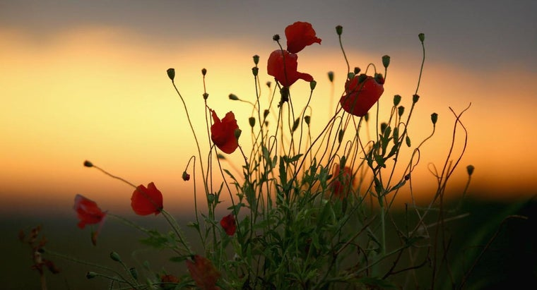 "What Are the Words to the Poem ""In Flanders Field"" by John McCrae?"