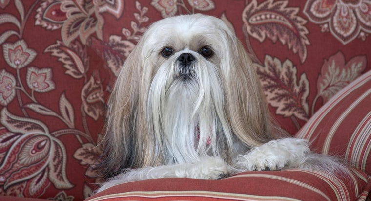 How Do You Adopt a Dog From a Shih Tzu Rescue?