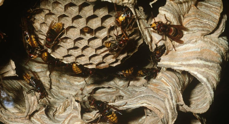 What Is the Best Way to Remove a Hornets' Nest?