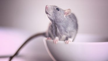 What Is the Best Rat Poison?