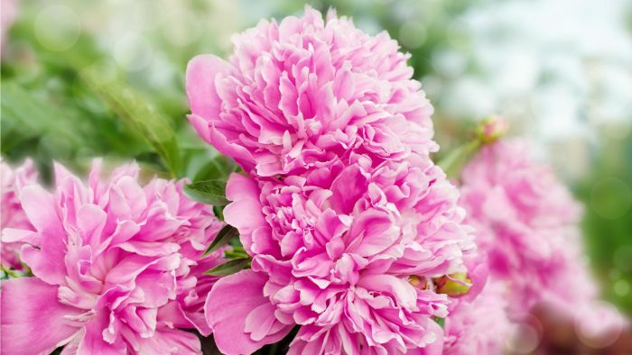 When Do You Plant Peonies?