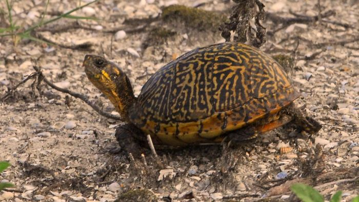 How Much Do Box Turtles Generally Cost?