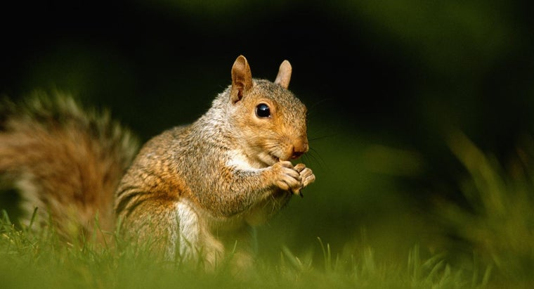 How Can You Find a Squirrel for Sale?