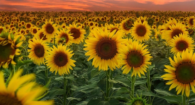How Do You Plant Sunflowers?