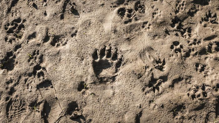 How Do You Identify Animal Tracks?