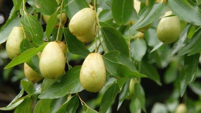 What is a jujube tree?
