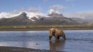 What Are Some Adaptations That Make Grizzly Bears Unique?