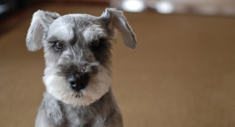 What Are Some Teacup Schnauzer Rescues?