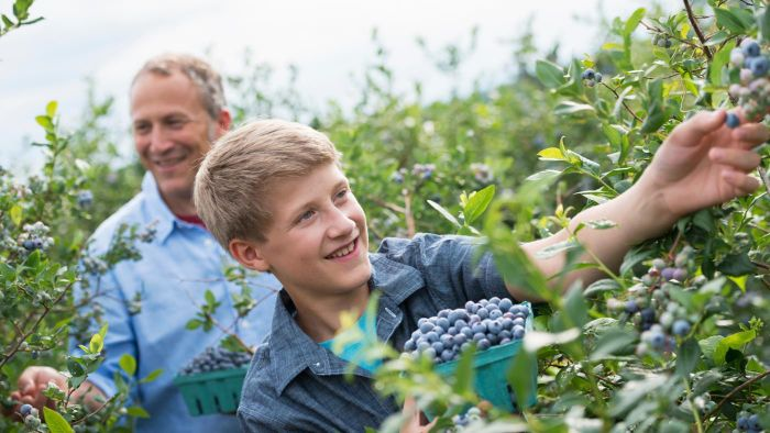 What Is a Good Way to Plant Blueberry Bushes?