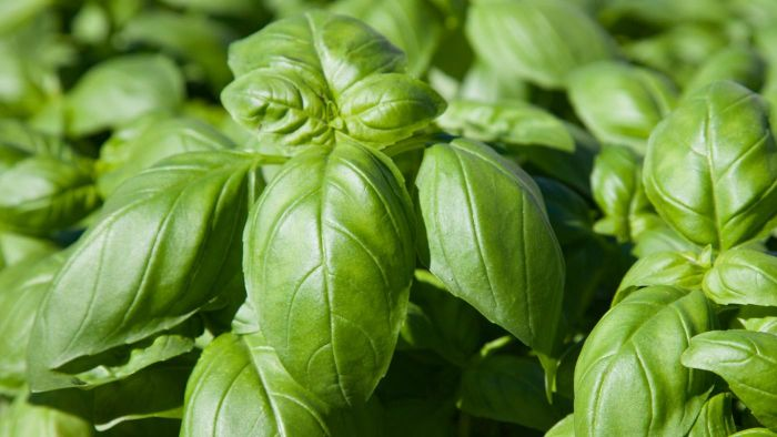 How Do You Dry Basil Leaves?