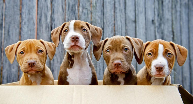 Can You Find Pit Bull Puppies for Sale on the Internet?