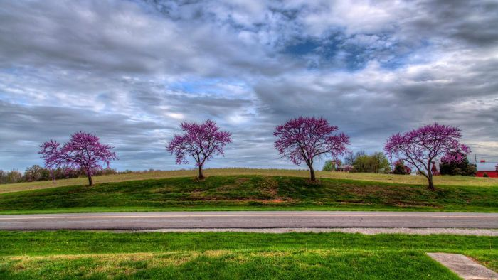 What Are Some Facts About Redbud Trees?
