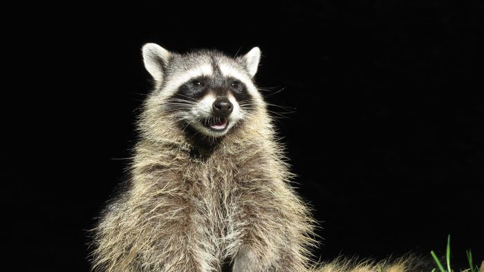 What is a safe way to catch a raccoon on your property?