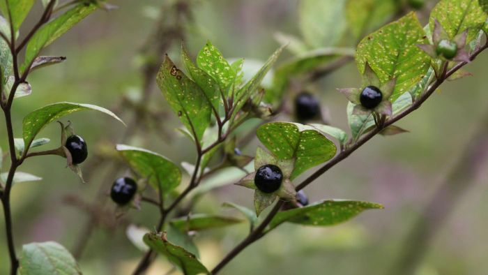 What Are Deadly Nightshade Plants?
