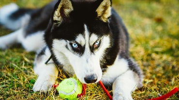 What Key Differences Are There When Adopting a Husky Puppy Versus Other Breeds?